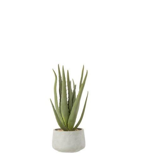 Aloe vera2